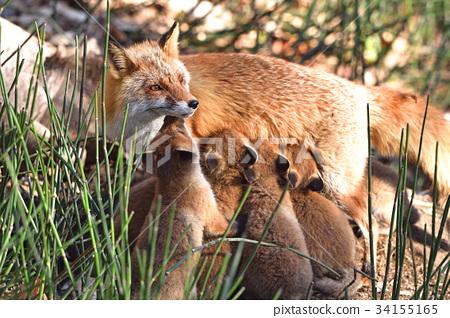 虾夷红狐狸 狐狸 父母身份 34155165