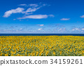 向日葵 太陽花 花朵 34159261