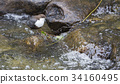 White-throated dipper 34160495