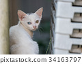pussy, white cat, kitty 34163797