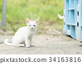 Oddeye white cat kitten 34163816