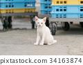 cat, pussy, white cat 34163874