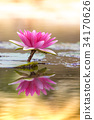 water, lily, water-lily 34170626
