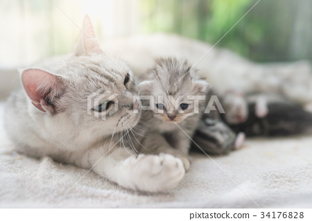 cat kissing her kitten with love 34176828