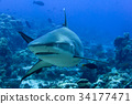 Grey shark ready to attack underwater in the blue 34177471