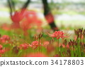 cluster amaryllis, red spider lily, ghost flower 34178803