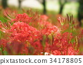 cluster amaryllis, red spider lily, ghost flower 34178805