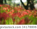 cluster amaryllis, red spider lily, ghost flower 34178806