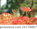 cluster amaryllis, red spider lily, ghost flower 34178807