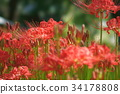 cluster amaryllis, red spider lily, ghost flower 34178808