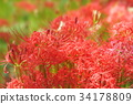 cluster amaryllis, red spider lily, ghost flower 34178809