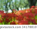 cluster amaryllis, red spider lily, ghost flower 34178810
