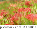 cluster amaryllis, red spider lily, ghost flower 34178811