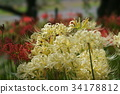 cluster amaryllis, red spider lily, ghost flower 34178812