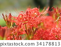 cluster amaryllis, red spider lily, ghost flower 34178813