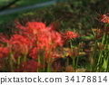 cluster amaryllis, red spider lily, red 34178814