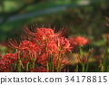 cluster amaryllis, red spider lily, ghost flower 34178815