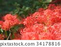 cluster amaryllis, red spider lily, ghost flower 34178816