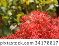 cluster amaryllis, red spider lily, ghost flower 34178817