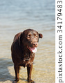 cheerful brown labrador play in water 34179483