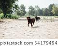 cheerful brown labrador runs through the sand 34179494