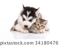 Cute siberian husky puppy cuddling cute kitten 34180476