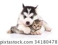 Cute siberian husky puppy cuddling cute kitten 34180478