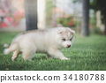 siberian husky puppy on green grass 34180788