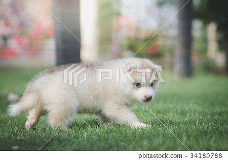 siberian husky puppy on green grass 34180788