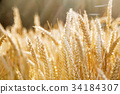 Gold colored cereal field 34184307