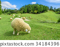 롯 코산 목장 양 푸른 하늘 34184396