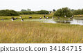 Stork birds flying over the water against wetlands 34184715