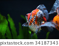 the calico ryukin gold fish 34187343
