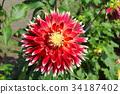 red dahlia flower akita 34187402