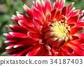 red dahlia flower akita 34187403