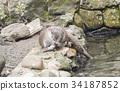 Lutra lutra, European otter 34187852