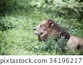 獅子 動物 哺乳動物 34196217