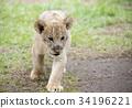 獅子 動物 哺乳動物 34196221