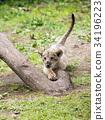 獅子 動物 哺乳動物 34196223