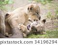 哺乳動物 獅子 嬰兒 34196294