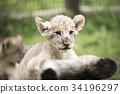 哺乳動物 獅子 嬰兒 34196297