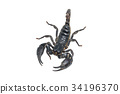 Scorpion isolated on white background 34196370