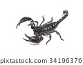 Scorpion isolated on white background 34196376