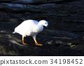 White male of Kelp goose, chloephaga hybrida, in 34198452
