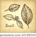 罗勒属植物 罗勒 画 34199544