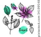 罗勒属植物 罗勒 画 34199548