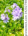 water hyacinth, common water hyacinth, pontederiaceae 34202790