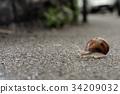 Helix pomatia on the asphalt 34209032