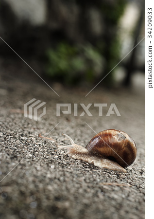 Helix pomatia on the asphalt 34209033