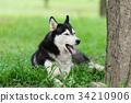 Portrait of Siberian Husky 34210906